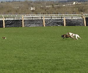 Newinn Wonder Sentimental Favourite For 2014 Irish Coursing Cup