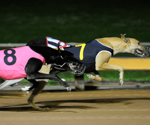 Greyhound racing is being subsidised by mug gamblers