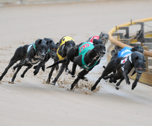 Topper Toretto the fastest qualifier for Dapto Puppy Classic