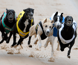 Logic missing from the decisions in greyhound racing
