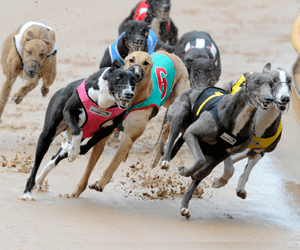 Transcend Time Named Australia's Best Greyhound For September 2012