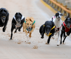 Gary Fahey Steals The Show At Devonport Greyhounds