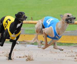 Betting on group 1 greyhound races
