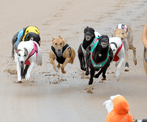 Facts scarce for both greyhound stayers and breeding