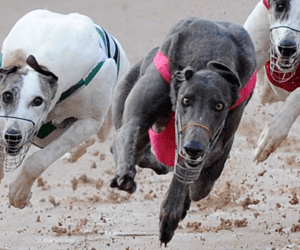 David Bale's Topgun Win Named Australia's Best Greyhound Race For October 2012