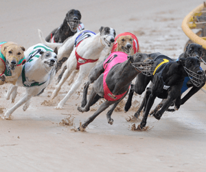 Greyhound racing needs a GPS fitted