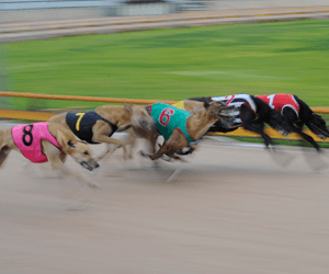 Does travel affect a greyhound's performance?
