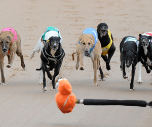 Three Year Disqualification For Wentworth Park Greyhounds Caffeine Positive