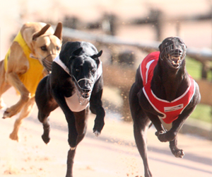 2013 Queensland Greyhound Of The Year Nominations