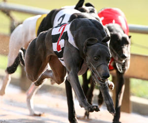 2014 Group Two Dapto Puppy Classic Semi Final Preview