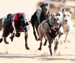 WA Greyhound Trainer Disqualified For 3 Years Over Animal Welfare Issues