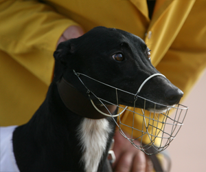 NSW ends up as greyhound racing's big hope for 2016