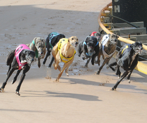 Finish On Lure To be Introduced At Mount Gambier Greyhounds
