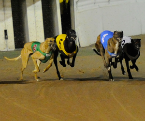 Casino Greyhounds Pop Northfield Winner Fire Break Takes Out Sprint Heat