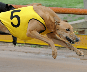 Road Toll Takes His Toll On Peg Rose His At Casino Greyhounds
