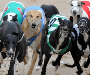 Forbes Greyhound Club Closes Sensationally