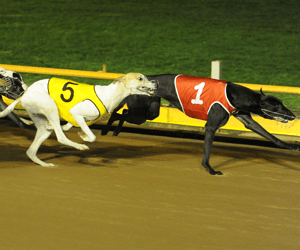 Bekim Bale Awarded September 2011 Australian Greyhound Run Of The Month