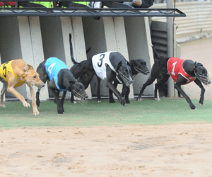 Kempsey Greyhound Racing Club Hold World's First Shark Race