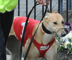 NSW greyhound shutdown will massively affect Victoria