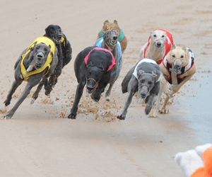 Wining Litter Double For Wilkinsons At Casino Greyhounds