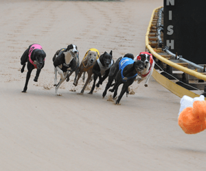 There's engagement but no enlightenment in greyhound racing