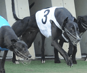 Careful work required to improve greyhound racing