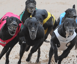 Fabregas Named Australia's Best Greyhound For August 2012