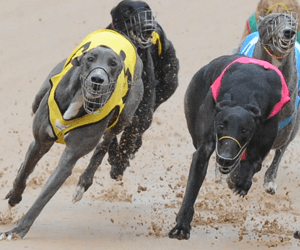 Speed Needed To Succeed In Warragul Cup Heats On Sunday