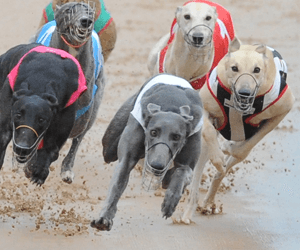 Miagi Is NSW's 2008 Greyhound Of The Year