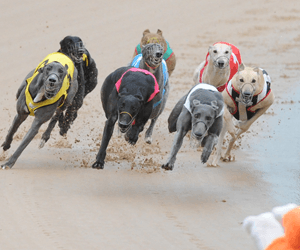 Local SA Greyhound Sammy's Sister Qualifies Fastest For Group 3 SA Oaks Final