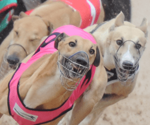 Greyhound overbreeding myth exposed