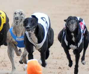 Greyhound clubs & GBOTA put faith in lobbying to save sport