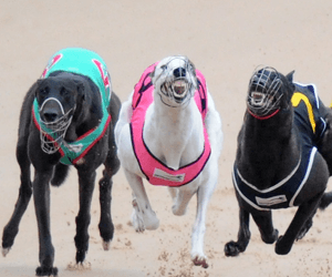 Black Rugs Dominate The Casino Greyhounds Card