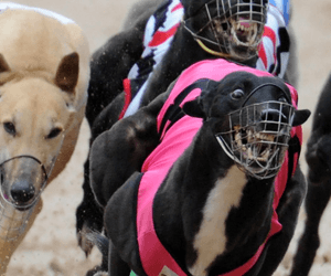 Labor Party release a plan to clean up NSW greyhound industry