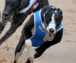 Top Brisbane Greyhounds On Home Stretch For GOTY