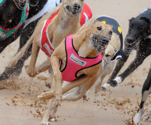 Suspended Sentence For Disqualified Greyhound Trainers Heptaminol Positive