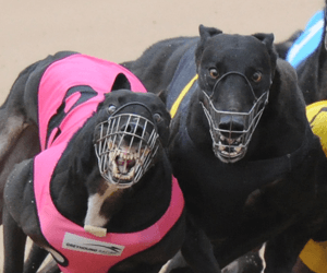 Plenty of thrills and spills at Sandown Park greyhounds