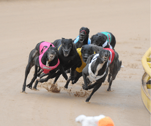 Should insiders run the greyhound racing industry?