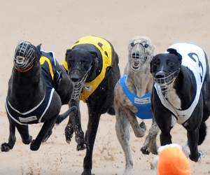 Foley fears NSW greyhound ban could drive the sport underground