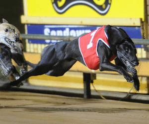 Matcott's Coursing Treble In South Australia