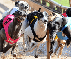 Jumping dog posing a threat to other greyhounds at Sandown Park