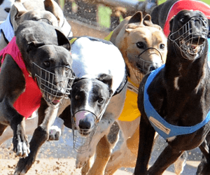 Magic Earner Qualifies Fastest For Group Two Dapto Puppy Classic