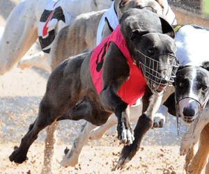 Punting Storm Warning At Brisbane Greyhounds This Thursday