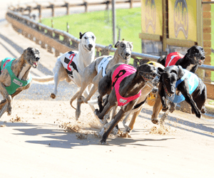 Greyhound racing news: More In Store stars in Chairman's Cup heat