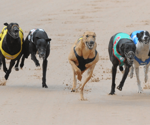 Finalists announced for 2015/2016 Victorian Greyhound of the Year