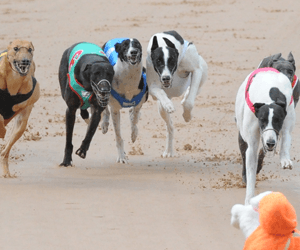 Time to study greyhound stewards