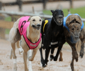 NSW greyhound industry to fight ban in Federal Court