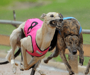 Coursing Stalwarts Close The Season Out At Virginia Coursing