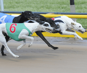 So Seductive Scores A Unique Double Being Named Australia's Greyhound Of The Month