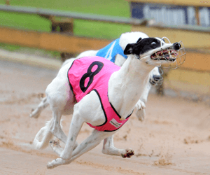 Greyhound racing in NSW hoisted on its own petard